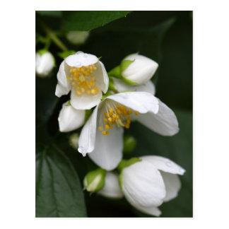 Flor de um arbusto inglês do dogwood cartão postal
