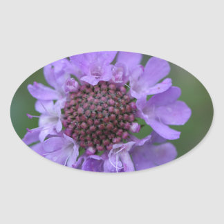 Flor de um lucida de Scabiosa Adesivo Oval