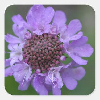 Flor de um lucida de Scabiosa Adesivo Quadrado