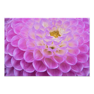 Flor do crisântemo que decora o local grave dentro impressão de foto