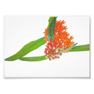 Flor do Milkweed da borboleta no branco Impressão De Foto