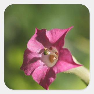 Flor do tabaco (tabacum do Nicotiana) Adesivo Quadrado