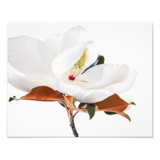 Flor floral das magnólias brancas da flor da impressão de foto