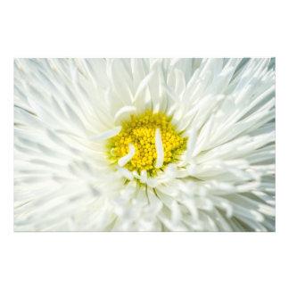 Flor inglesa branca da margarida impressão de foto