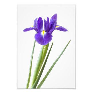 Flor roxa da íris no branco foto arte