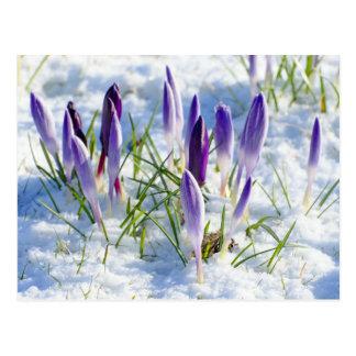 Flor roxa do açafrão do cartão na neve
