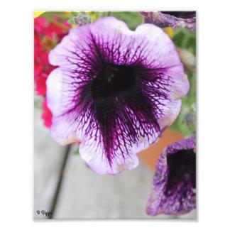 Flor roxa e branca da ampliação da foto -