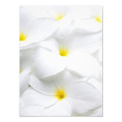 Flor tropical havaiana do Frangipani branco do Fotografias