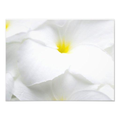 Flor tropical havaiana do Frangipani branco do Impressão De Fotos