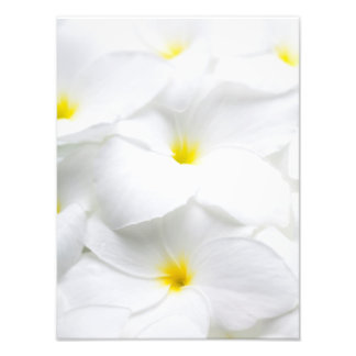 Flor tropical havaiana do Frangipani branco do Impressão De Foto