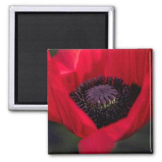 Flor vermelha bonita da flor da papoila ímã quadrado