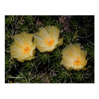 Flores amarelas chilenas bonitas do cacto cartão postal