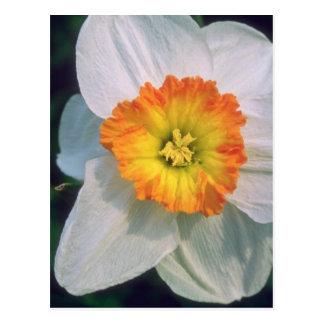 Flores amarelas do narciso cartão postal