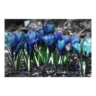 Flores azuis do açafrão do Aqua Impressão De Foto