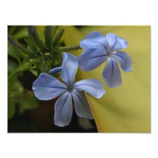 Flores azuis do Plumbago Impressão De Foto