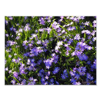 Flores azuis do primavera do Squill Impressão De Foto