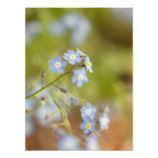 Flores azuis doces impressão fotográficas