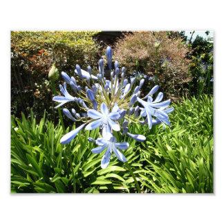 Flores azuis e brancas impressão de foto