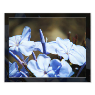 Flores azuis no impressão da foto da flor