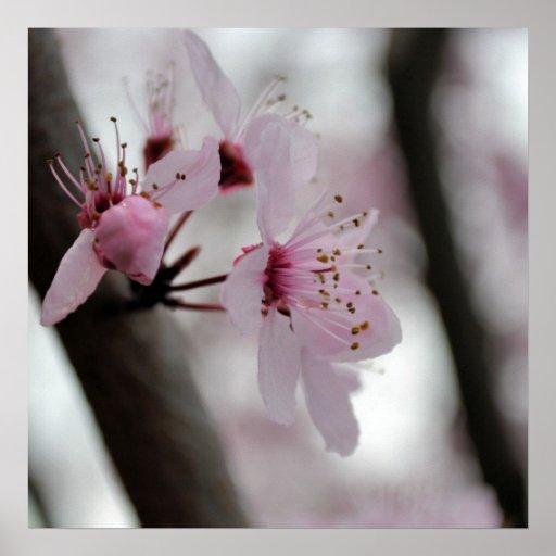 Flores bonitas da flor de cerejeira posters