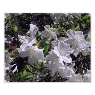 Flores brancas impressão de foto