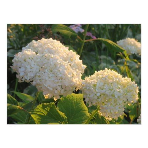 Flores brancas bonitas de Hydrenga Impressão Fotográficas