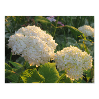 Flores brancas bonitas de Hydrenga Impressão De Foto