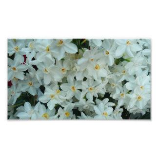 Flores brancas delicadas do narciso de Paperwhite Impressão De Foto