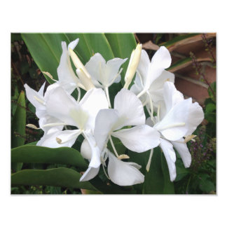 Flores brancas do gengibre impressão de foto