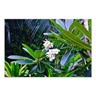 Flores brancas do Plumeria Foto Artes