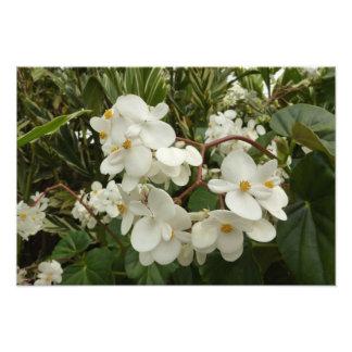 Flores brancas tropicais da begónia impressão de foto