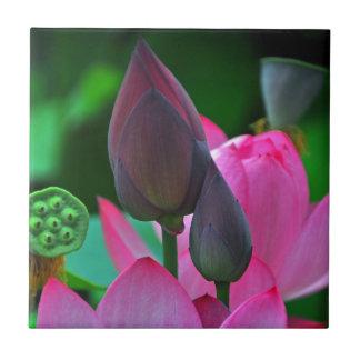 Flores cor-de-rosa de Lotus