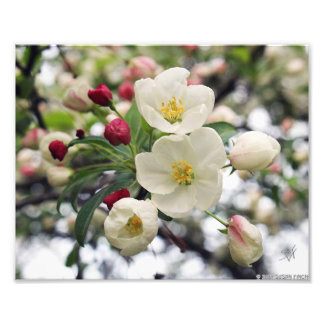Flores de Apple de caranguejo Fotografias