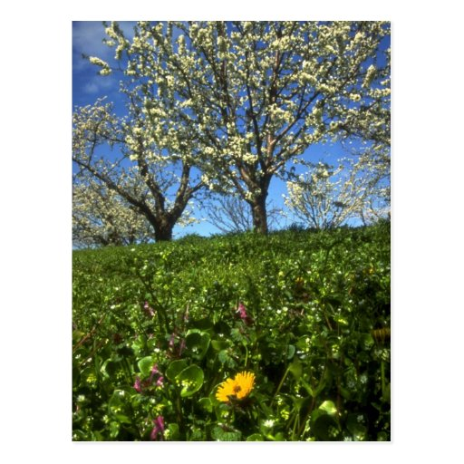 Flores de Apple, Hood River, Oregon Cartao Postal