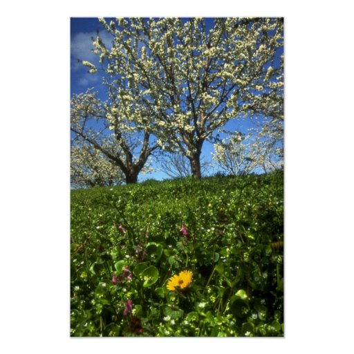 Flores de Apple, Hood River, Oregon Pôsteres