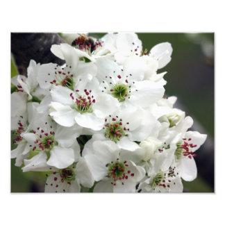 Flores de Apple no primavera Impressão De Foto