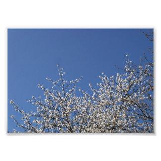 Flores de cerejeira fotos
