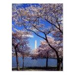 Flores de cerejeira no cartão do Washington DC Cartões Postais