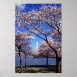 Flores de cerejeira no impressão do poster do Wash