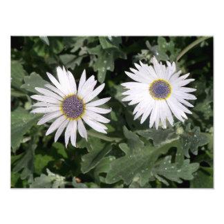 Flores de olhos azuis da margarida impressão de foto