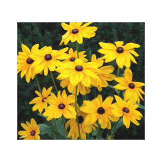 Flores de Susan de olhos pretos