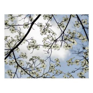 Flores do Dogwood e céu azul Cartão Postal