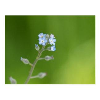 Flores do miosótis cartão postal