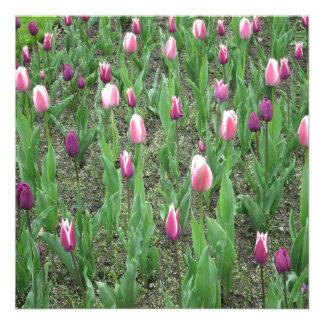 Flores do roxo das tulipas