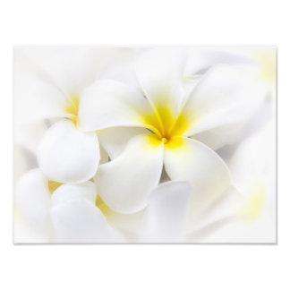 Flores florais do Frangipani branco da flor do Impressão De Foto