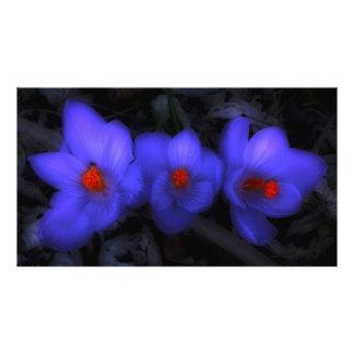 Flores roxas azuis bonitas do açafrão impressão de foto