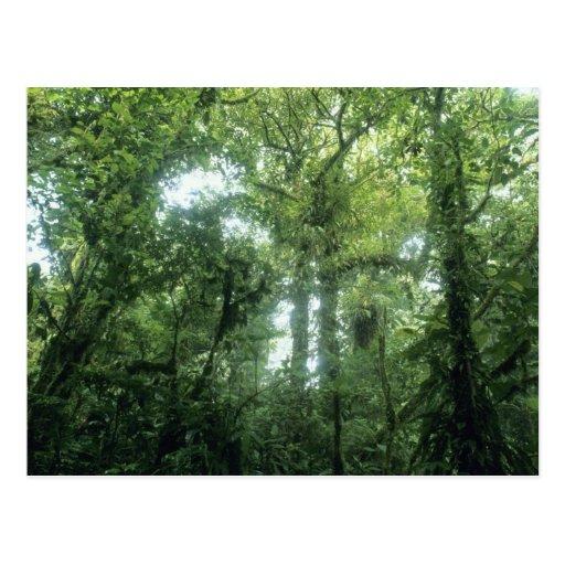 Floresta da nuvem de Monteverde, Costa Rica. Cartoes Postais