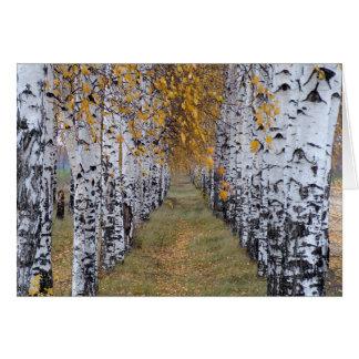 Floresta do vidoeiro de Finlandia Cartão