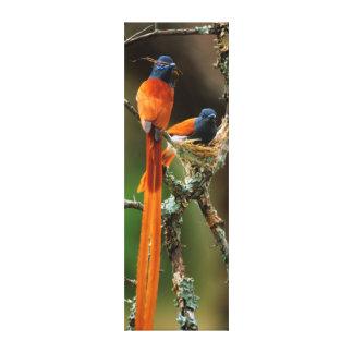 Flycatcher africano 2 do paraíso impressão de canvas envolvida