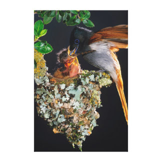 Flycatcher africano do paraíso impressão de canvas esticadas
